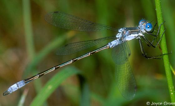 Common Spreadwing - Lestes disjunctus - male