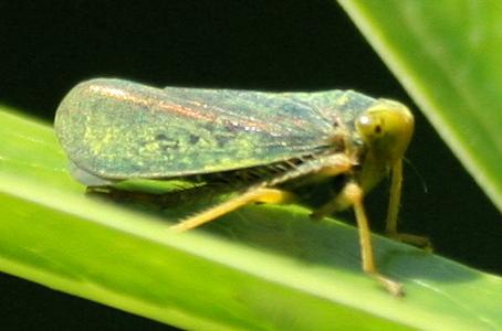 Leafhopper? - Jikradia olitoria