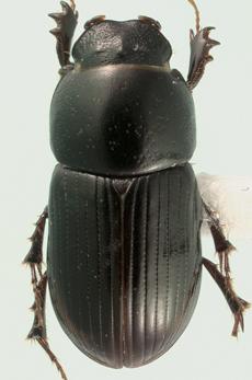 Phaeaphodius rectus (Motschulsky) - Phaeaphodius rectus