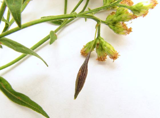 Goldenrod gall fauna, larva - Rhopalomyia pedicellata