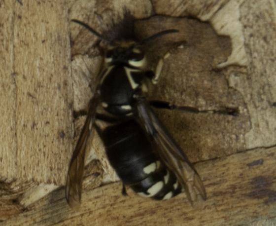 Dolichovespula maculata queen? - Dolichovespula maculata - female