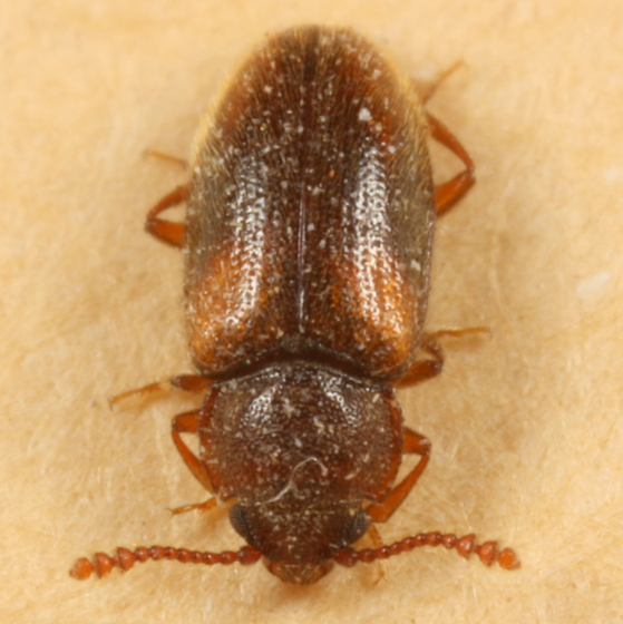 Fuzzy little beetle - Cryptophilus seriatus