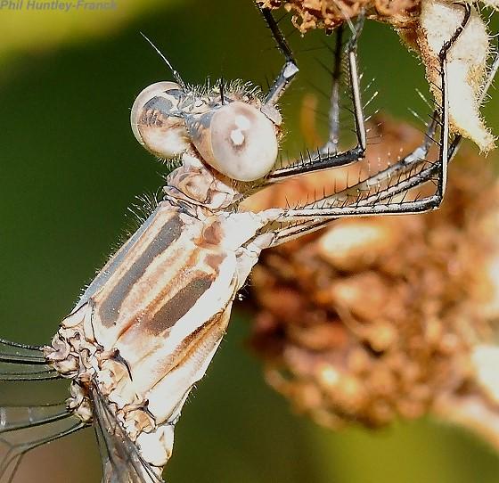 Damselfly - Archilestes californica - male