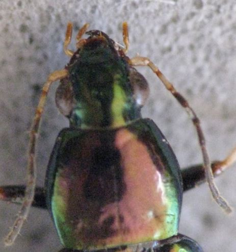 Bright metallic ground beetle - Stenocrepis elegans