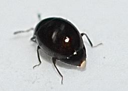 Beetle? - Orthoperus