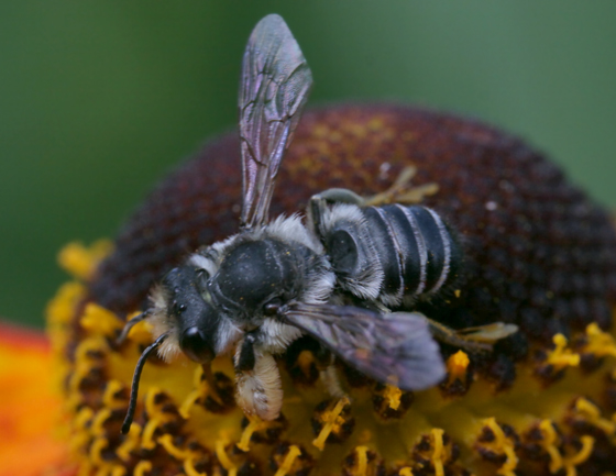 Black and white bee - Megachile pugnata - male