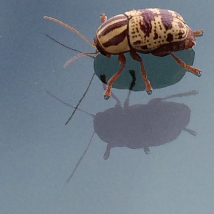Striped, Spotted Beetle - Cryptocephalus leucomelas