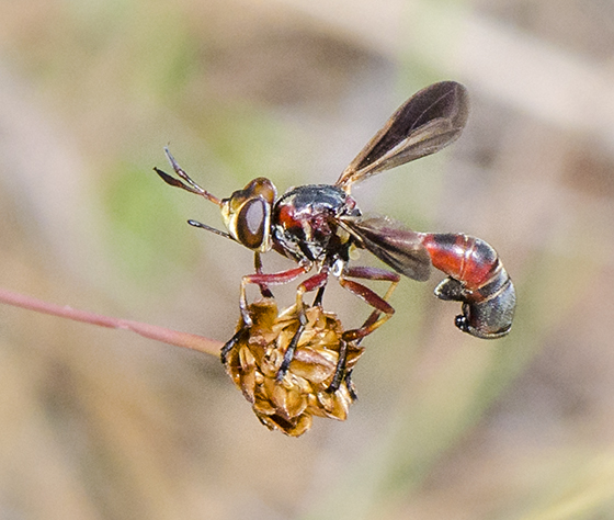 Fly to ID - Physoconops floridanus - female