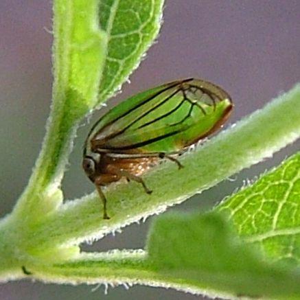 Boneset Bug - Acutalis tartarea
