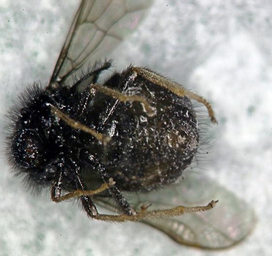 Small-headed Fly. - Pterodontia johnsoni