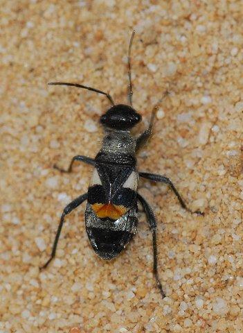 Ant mimic Largid - Arhaphe carolina