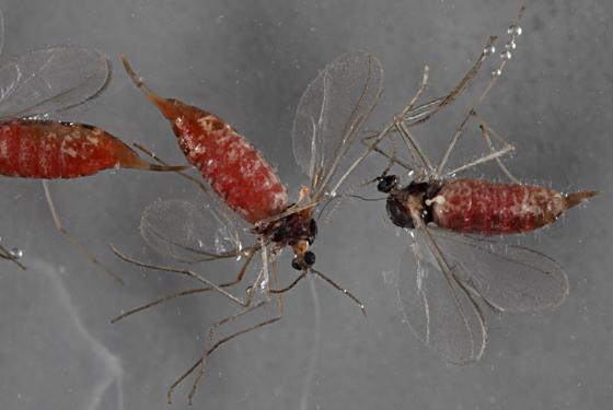 From gall - Rhopalomyia chrysothamni
