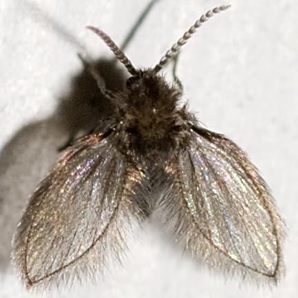 Moth Fly - Quatiella