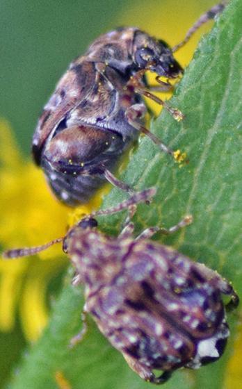 Beetles on Goldenrod (Gibbobruchus mimus?) - Gibbobruchus mimus