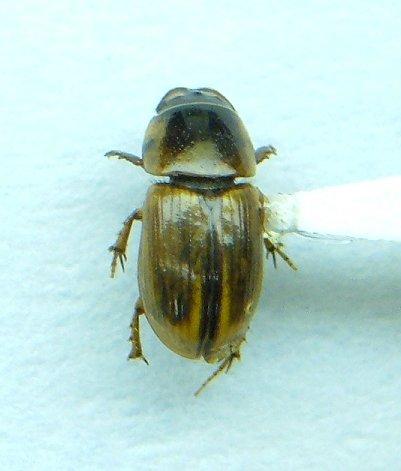 Aphodius - Aphodius pseudolividus - male