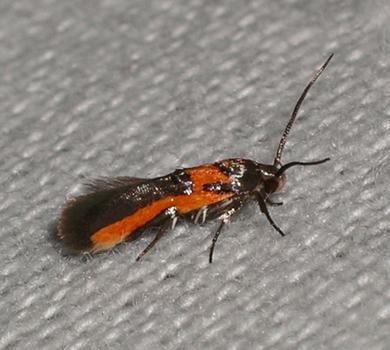 Euclemensia Moth - Euclemensia bassettella