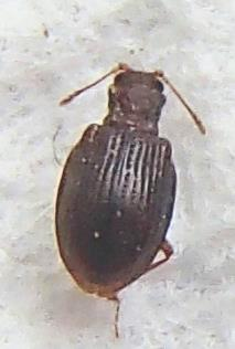 Tiny Beetle - Stephostethus liratus