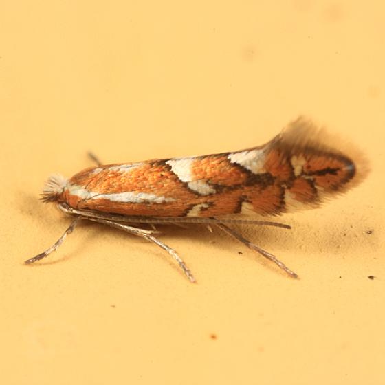 moth - Phyllonorycter