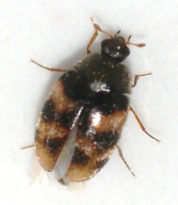 Dermestid - Phradonoma nobile