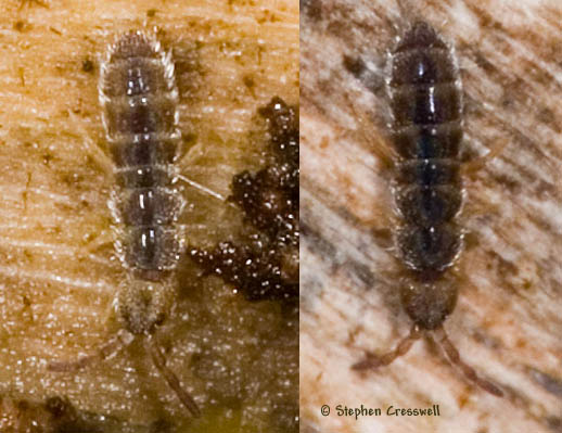 Under Bark Springtail in December - Vertagopus