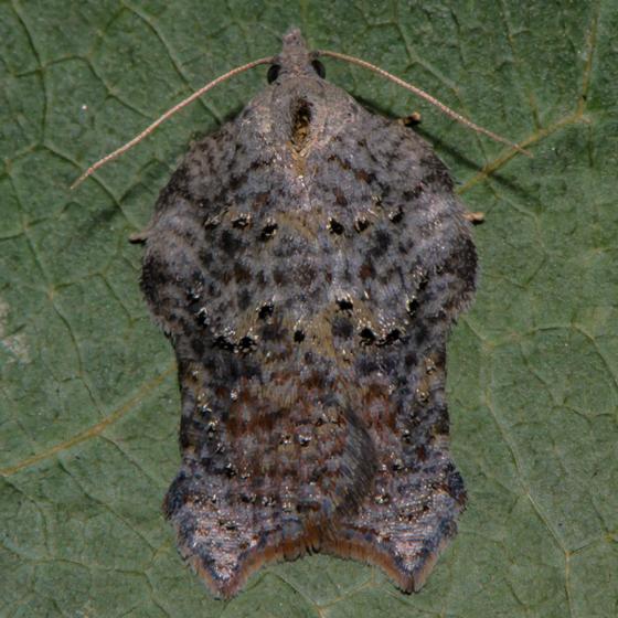 Unknown Moth - Acleris effractana