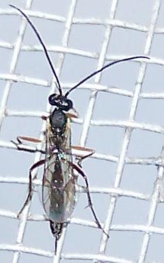 Ichneumonid wasp  - female