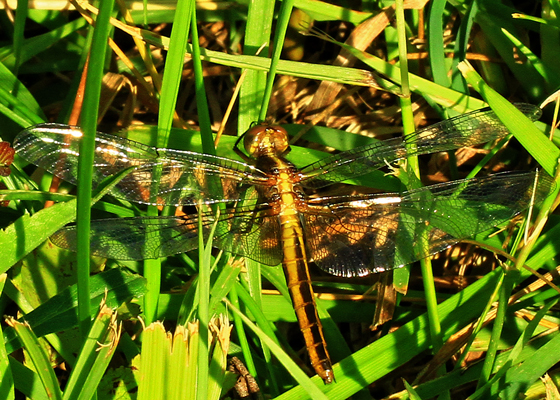 Dragonfly - Libellula - female