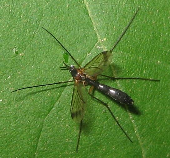 Keroplatidae?