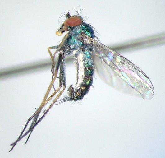 Condylostylus graenicheri - male