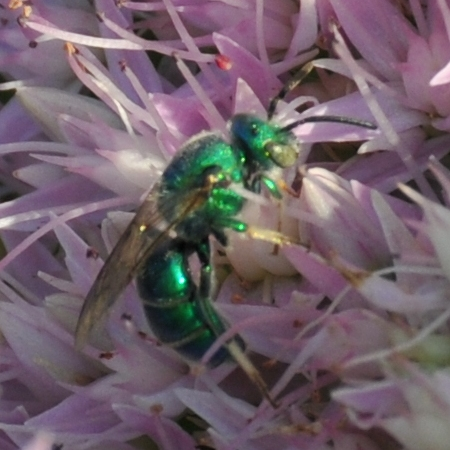 Sweat Bee (Augochloropsis metallica) - Augochloropsis metallica - male