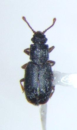 Monotoma - Monotoma emarginata - female