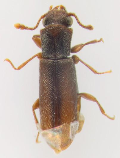 Bostrichidae, dorsal - Trogoxylon parallelipipedum