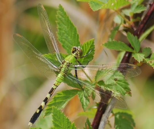 green Dragon - Erythemis simplicicollis - female
