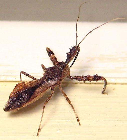 Spiny Assassin Bug - Sinea spinipes