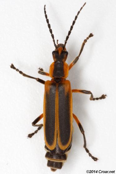 Chauliognathus marginatus