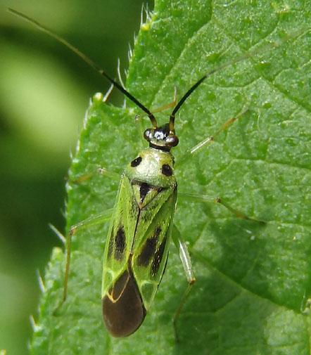 Plant Bug - Ilnacora malina