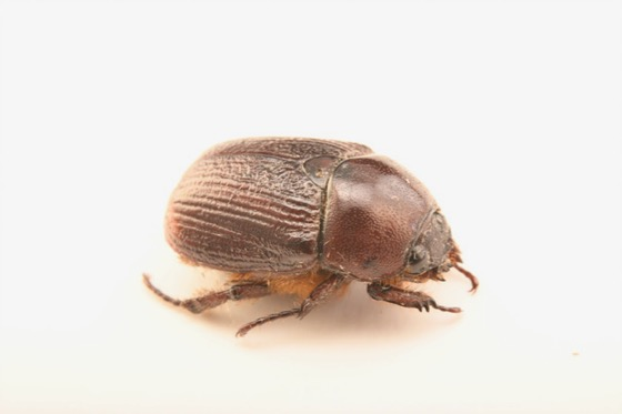 Unknown Scarab