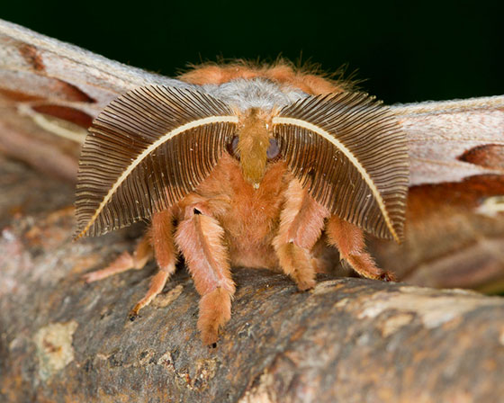 Polyphemus - Antheraea polyphemus - male