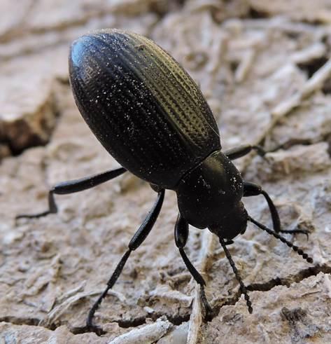 Darkling beetle from White Sands - Eleodes carbonaria