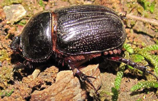 beetle - Xyloryctes jamaicensis