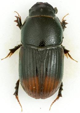 Otophorus haemorrhoidalis (Linnaeus) - Aphodius haemorrhoidalis