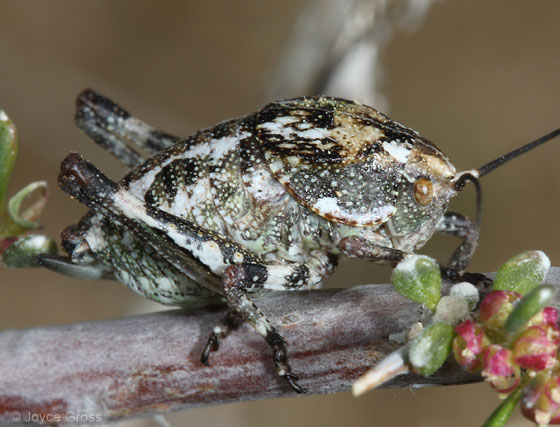 orthopteran from southern CA - Aglaothorax ovata - female