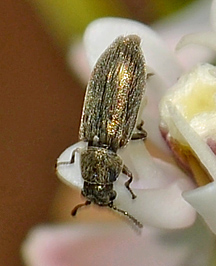 Melyrid on milkweed