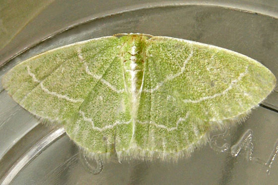 Moth - Synchlora aerata - female