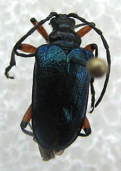 cerambycidae - Pseudogaurotina cressoni