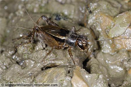Ground Cricket - Allonemobius fasciatus - male