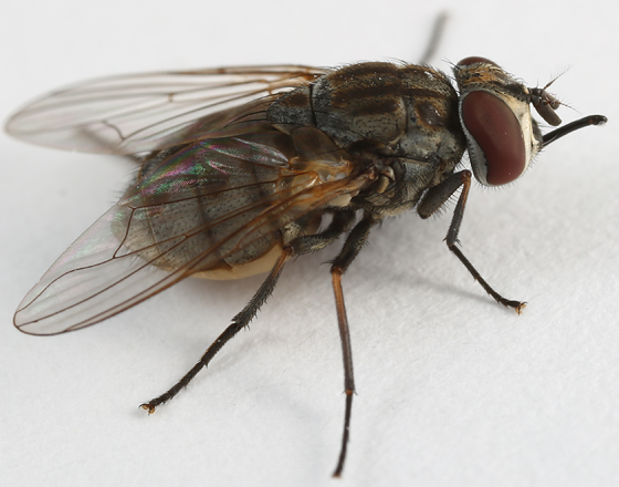 fly - Stomoxys calcitrans