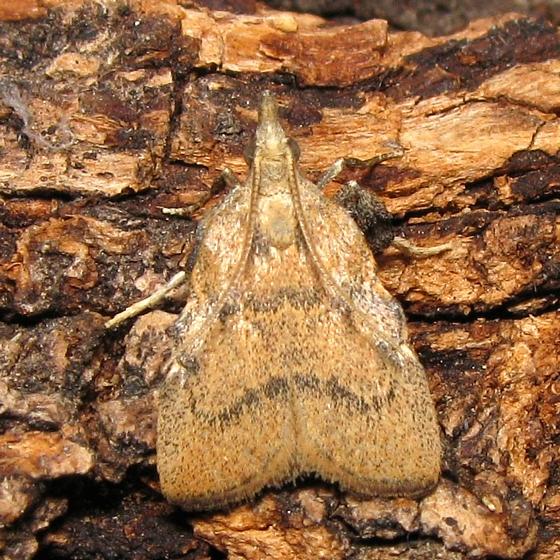 Hodges #5551 - Negalasa fumalis