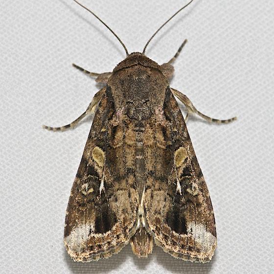 Fall Armyworm Moth - Hodges#9666 - Spodoptera frugiperda ...