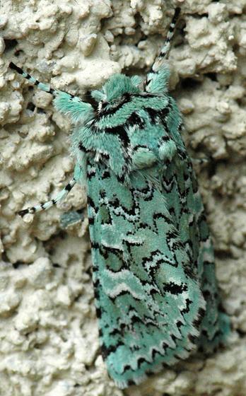Feralia sp.? - Feralia februalis